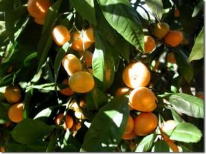 Fukuoka_Mandarin_tree_closeup