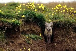 01-arctic-fox-den.adapt.768.1