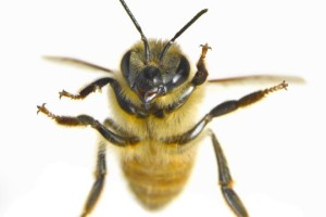 Close-up-of-honey-bee